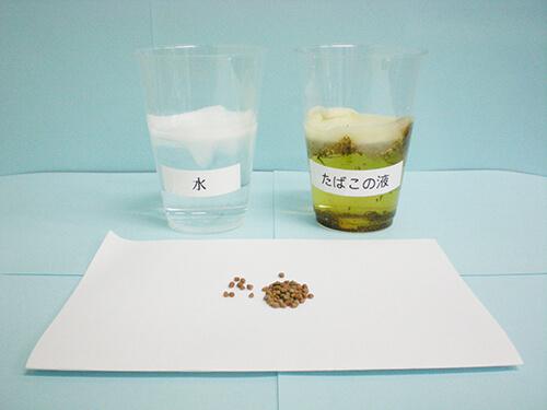 カイワレ大根による発芽実験④