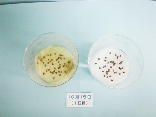 カイワレ大根による発芽実験⑥