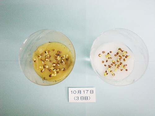 カイワレ大根による発芽実験⑩