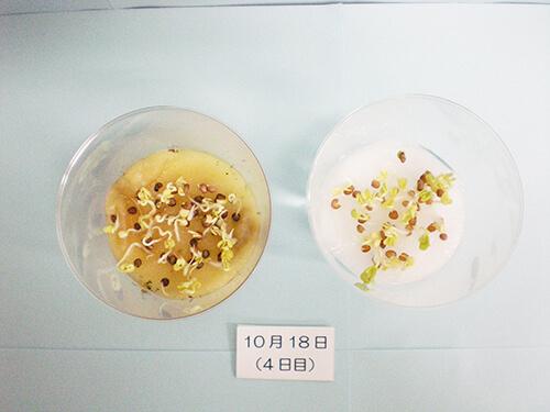 カイワレ大根による発芽実験⑫