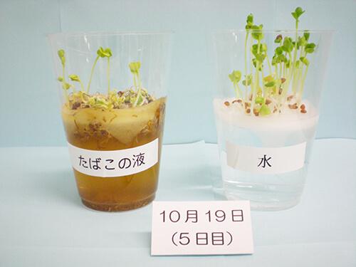 カイワレ大根による発芽実験⑬